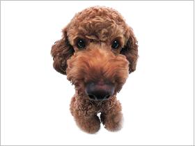 贵宾犬简介,贵宾犬价格,贵宾犬的寿命,贵宾犬的特征特点