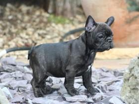 法国斗牛犬简介,法国斗牛犬价格,法国斗牛犬的寿命,法国斗牛犬的特征特点
