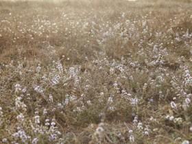 羊胡子草是什么?羊胡子草的功效与作用