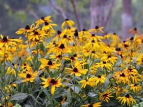 黑心菊是什么?黑心菊的功效与作用