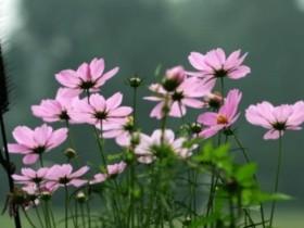 樱花草是什么?樱花草的养殖方法