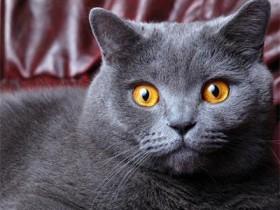 英国短毛猫简介,英国短毛猫价格,英国短毛猫的寿命,英国短毛猫的特征特点