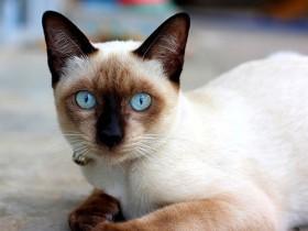 暹罗猫简介,暹罗猫价格,暹罗猫的寿命,暹罗猫的特征特点