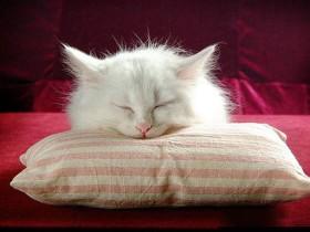 波斯猫简介,波斯猫价格,波斯猫的寿命,波斯猫的特征特点