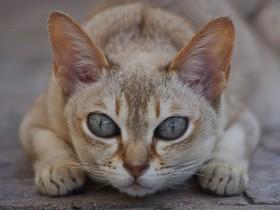 新加坡猫简介,新加坡猫价格,新加坡猫的寿命,新加坡猫的特征特点
