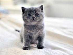 俄罗斯蓝猫简介,俄罗斯蓝猫价格,俄罗斯蓝猫的寿命,俄罗斯蓝猫的特征特点