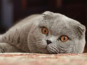 苏格兰折耳猫简介,苏格兰折耳猫价格,苏格兰折耳猫的寿命,苏格兰折耳猫的特征特点