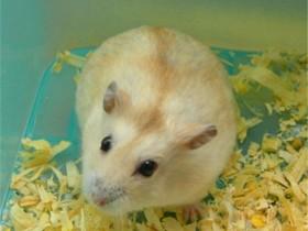 布丁仓鼠简介,布丁仓鼠价格,布丁仓鼠的寿命,布丁仓鼠的特征特点