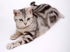 美国短毛猫简介,美国短毛猫价格,美国短毛猫的寿命,美国短毛猫的特征特点