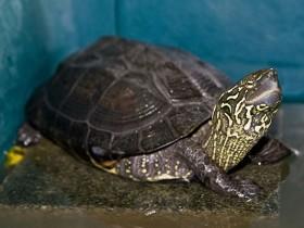 金钱龟简介,金钱龟价格,金钱龟的寿命,金钱龟的特征特点