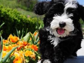 哈威那犬简介_哈威那犬价格_哈威那犬的寿命_哈威那犬的特征特点