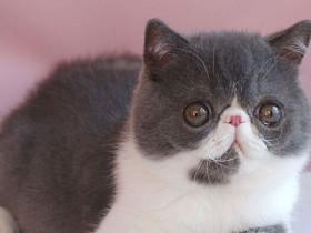 异国短毛猫(加菲猫)简介_异国短毛猫价格_异国短毛猫的寿命_异国短毛猫的特征特点