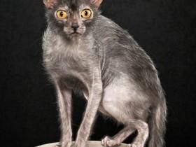 狼人猫简介_狼人猫价格_狼人猫的寿命_狼人猫的特征特点
