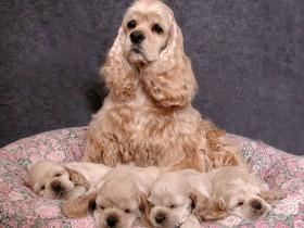 美国可卡犬简介_美国可卡犬价格_美国可卡犬的寿命_美国可卡犬的特征特点
