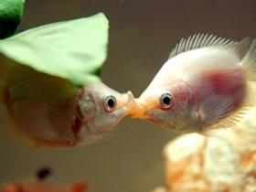 接吻鱼简介_接吻鱼价格_接吻鱼的寿命_接吻鱼的特征特点