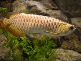金龙鱼简介_金龙鱼价格_金龙鱼的寿命_金龙鱼的特征特点