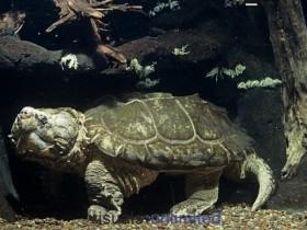 大鳄龟简介_大鳄龟价格_大鳄龟的寿命_大鳄龟的特征特点