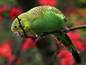 虎皮鹦鹉简介_虎皮鹦鹉价格_虎皮鹦鹉的寿命_虎皮鹦鹉的特征特点