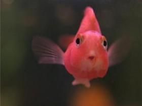 鹦鹉鱼简介_鹦鹉鱼价格_鹦鹉鱼的寿命_鹦鹉鱼的特征特点