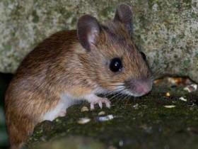 梦见被老鼠咬是什么预兆_梦见被老鼠咬什么意思_梦见被老鼠咬是好是坏