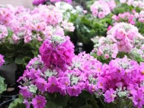 【樱草花】樱草花的养殖以及樱草花的花语代表什么