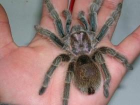 红玫瑰蜘蛛简介_红玫瑰蜘蛛价格_红玫瑰蜘蛛的寿命_红玫瑰蜘蛛的特征特点