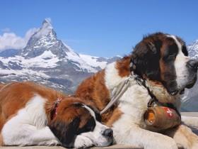 圣伯纳德犬简介_圣伯纳德犬价格_圣伯纳德犬的寿命_圣伯纳德犬的特征特点