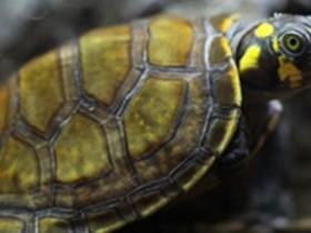黄头侧颈龟简介_黄头侧颈龟价格_黄头侧颈龟的寿命_黄头侧颈龟的特征特点