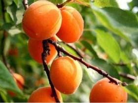 食用杏子有哪些禁忌-杏子的功效与作用