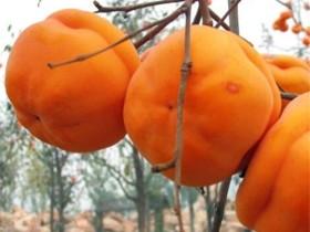 柿子不能和什么一块吃-吃柿子时应注意什么
