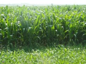 墨西哥玉米草是什么-如何种植墨西哥玉米草