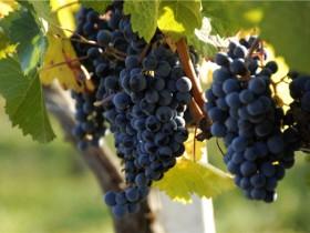 夏黑葡萄好吃吗,葡萄有哪些品种