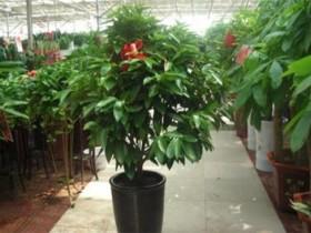 平安树的养殖方法-平安树摆放在哪里合适