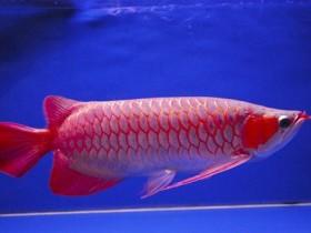 血红龙鱼简介_血红龙鱼价格_血红龙鱼的寿命_血红龙鱼的特征特点