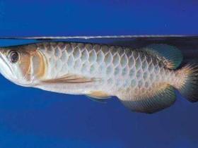 青龙鱼简介_青龙鱼价格_青龙鱼的寿命_青龙鱼的特征特点