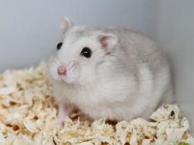 奶茶仓鼠简介_奶茶仓鼠价格_奶茶仓鼠的寿命_奶茶仓鼠的特征特点