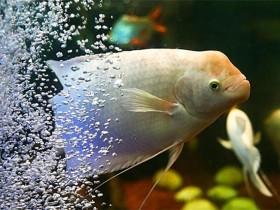 招财鱼简介_招财鱼价格_招财鱼的寿命_招财鱼的特征特点