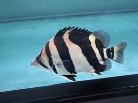 印尼虎鱼简介_印尼虎鱼价格_印尼虎鱼的寿命_印尼虎鱼的特征特点