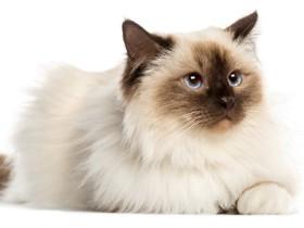 伯曼猫简介_伯曼猫价格_伯曼猫的寿命_伯曼猫的特征特点