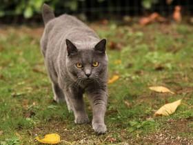 卡尔特猫简介_卡尔特猫价格_卡尔特猫的寿命_卡尔特猫的特征特点