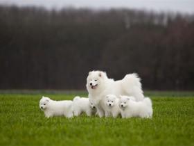 萨摩耶犬简介_萨摩耶犬价格_萨摩耶犬的寿命_萨摩耶犬的特征特点
