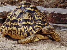 豹纹陆龟简介_豹纹陆龟价格_豹纹陆龟的寿命_豹纹陆龟的特征特点