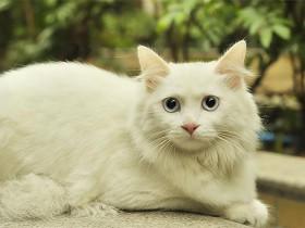 狮子猫简介_狮子猫价格_狮子猫的寿命_狮子猫的特征特点