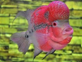 罗汉鱼简介_罗汉鱼价格_罗汉鱼的寿命_罗汉鱼的特征特点