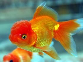 金鱼简介_金鱼价格_金鱼的寿命_金鱼的特征特点