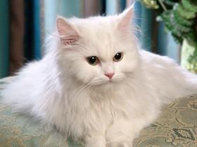 喜马拉雅猫简介_喜马拉雅猫价格_喜马拉雅猫的寿命_喜马拉雅猫的特征特点