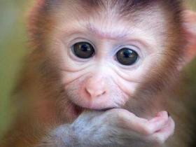 日本袖珍石猴简介_日本袖珍石猴价格_日本袖珍石猴的寿命_日本袖珍石猴的特征特点