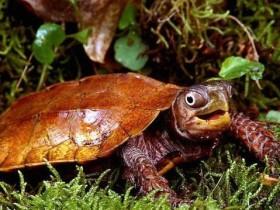 枫叶龟_枫叶龟价格_枫叶龟的寿命_枫叶龟的特征特点