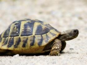 赫曼陆龟_赫曼陆龟价格_赫曼陆龟的寿命_赫曼陆龟的特征特点