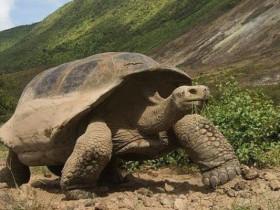 加拉帕戈斯象龟简介_加拉帕戈斯象龟价格_加拉帕戈斯象龟的寿命_加拉帕戈斯象龟的特征特点
